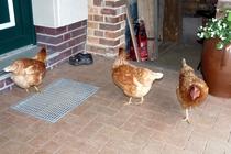 Ferienwohnung Spreewald Burg neugierige Hühner